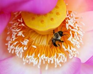 RW-Lotus with Bee DSC1605 web